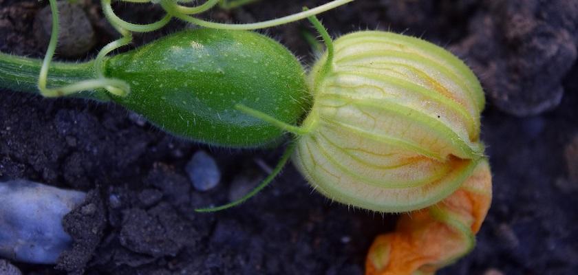 Courgette: vrucht en bloem