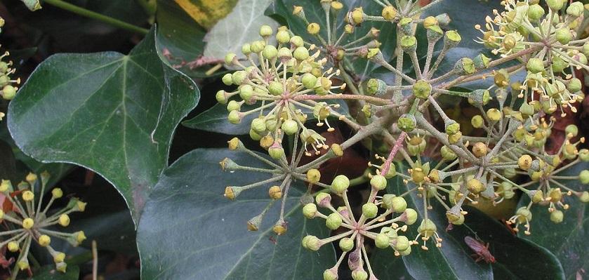 Op de bloemen van klimop komen veel soorten insecten af