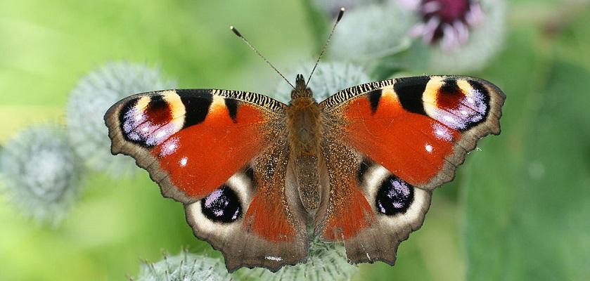 De dagpauwoog brengt de winter in Nederland door als vlinder