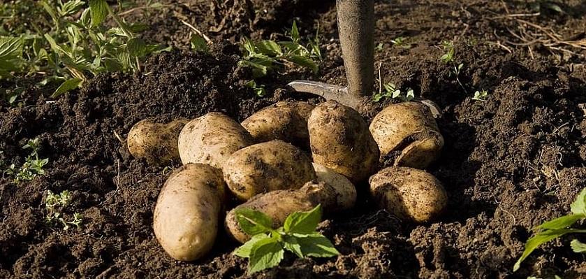Aardappelem kun je in de volle grond of in een emmer telen.