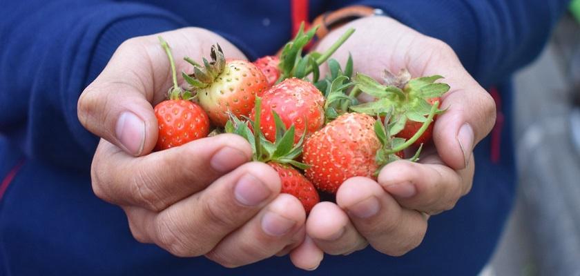 Volg de cursus moestuinieren en teel herlijke aardbeien in eigen tuin!
