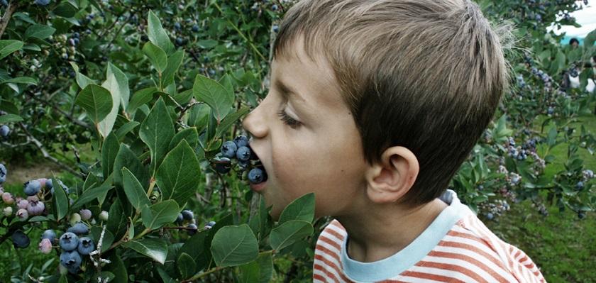 Blauwe bessen zijn lekker en gezond snoepgoed in de moestuin.