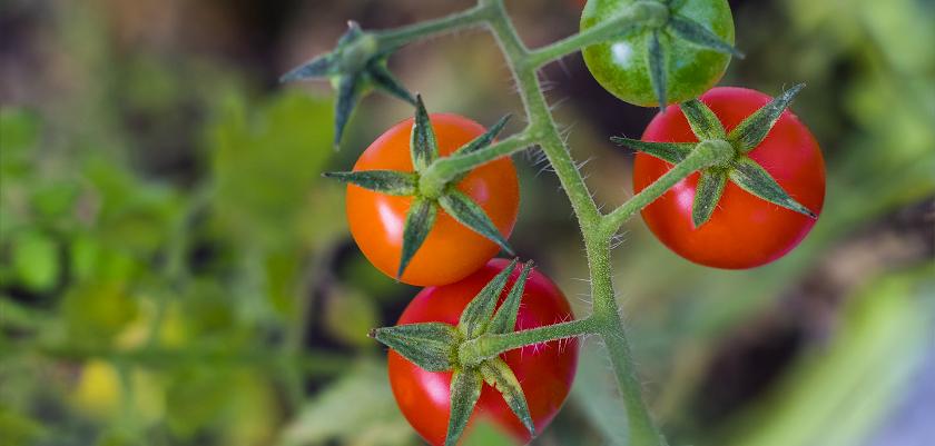 Knderen vinden kerstomaten vaak lekkerder dan gewone tomaten